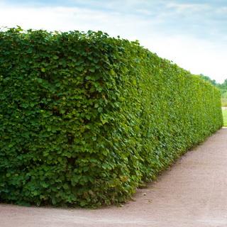 Как сделать живую изгородь из растений
